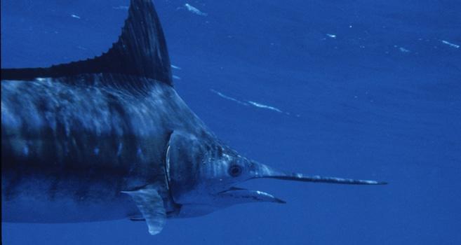 Marlin - Dieser Schwertfisch ist vom Aussterben bedroht