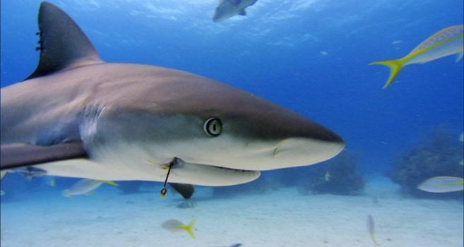 Ein verletzer Hai
