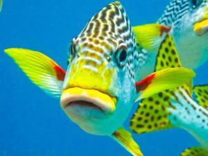 Süsslippen - Fisch