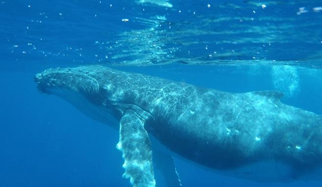Buckelwalen hautnah erleben