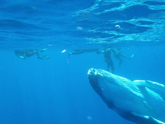 Mit Buckelwalen schwimmen in Tonga