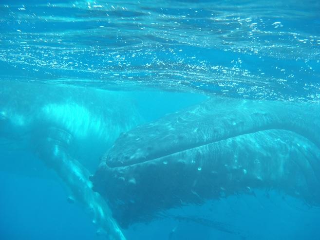 Mit Buckelwalen schwimmen