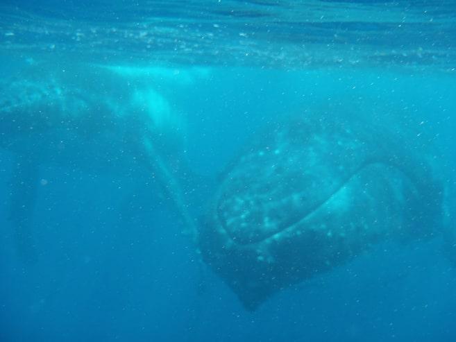 Buckelwale ganz nah beim Tauchen