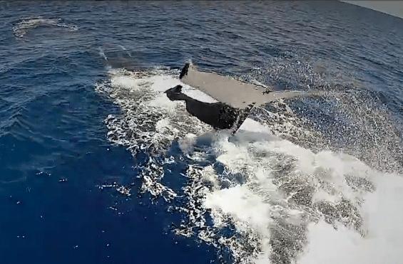 Buckelwal beim Untertauchen ins Meer
