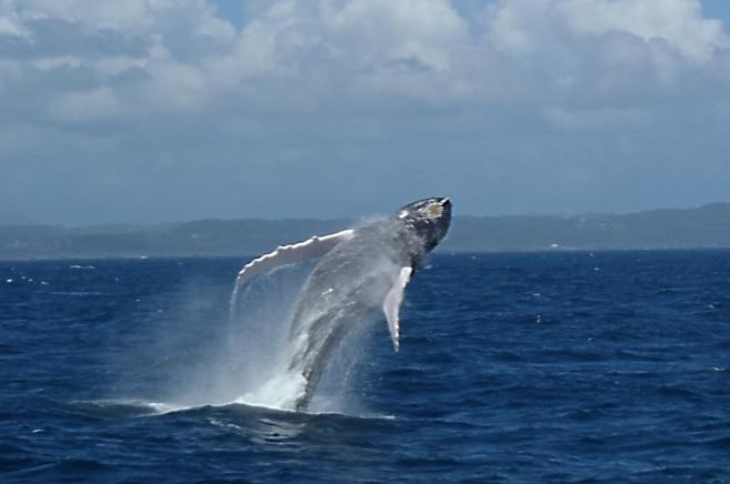 Buckelwal schraubt sich aus dem Wasser