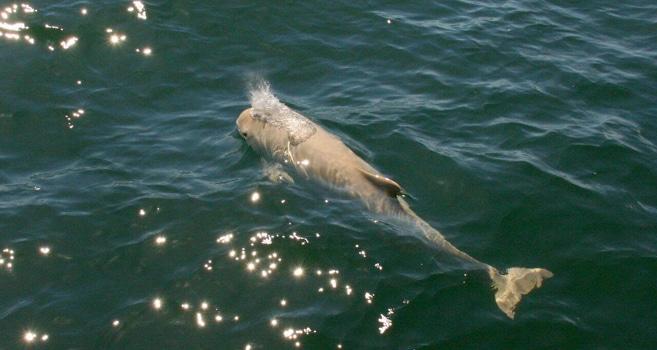 Sensation: wieder ein weißer Schweinswal in der Ostsee gesichtet