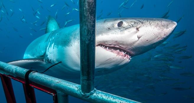 Weißer Hai Nahrung