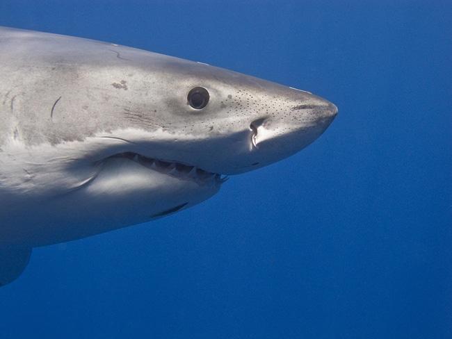 Weißer Hai Sinnesorgane
