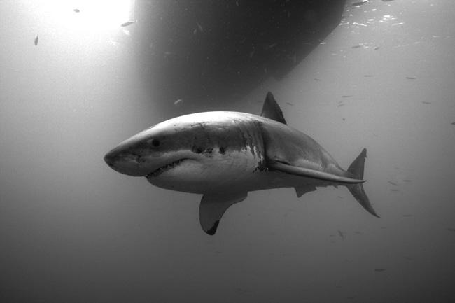Weißer Hai Steckbrief