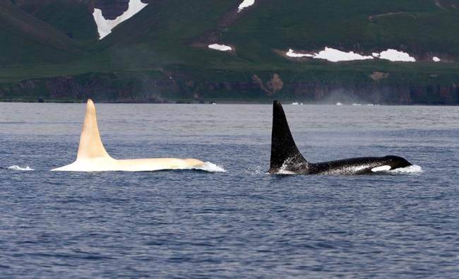 Schwertwal Iceberg und ein weitere Orca