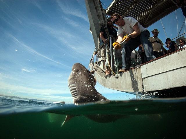 Siebenkiemerhai