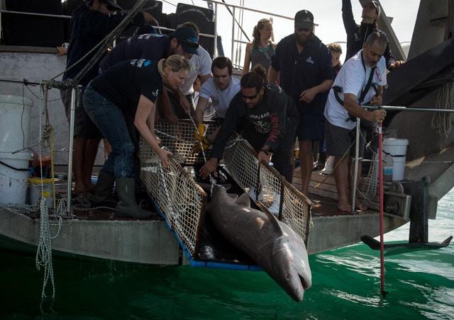 Siebenkiemerhaie mit GPS-Sendern