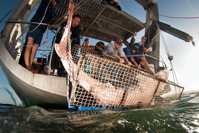 Siebenkiemerhaie