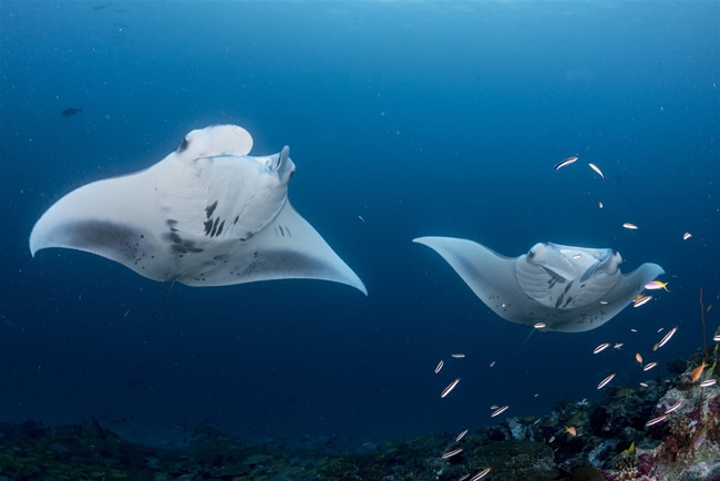 Mantas in Nord-Male-Atoll