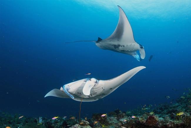 Tauchen mit Stachelrochen auf den Malediven