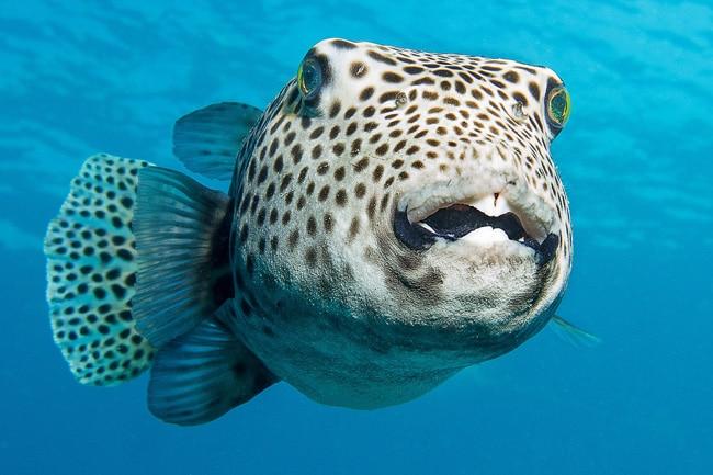 Riesenkugelfisch im Roten Meer