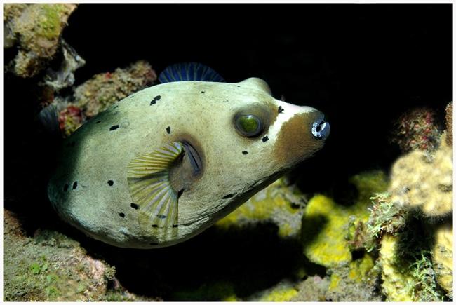Schwarzflecken-Kugelfisch