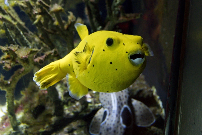 Zitronenkugelfisch