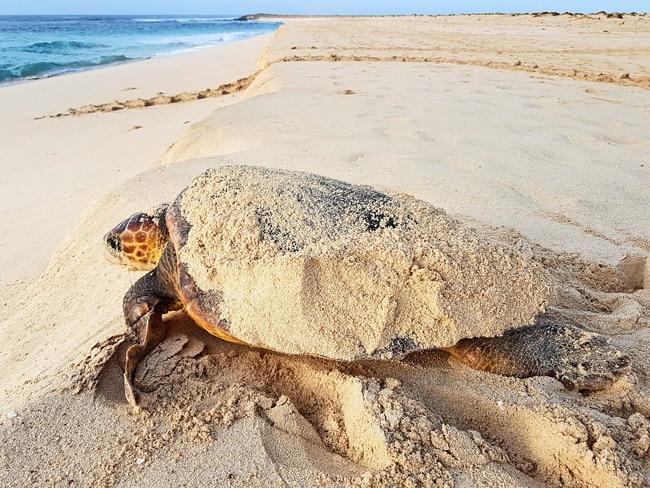 Unechten Karettschildkröte